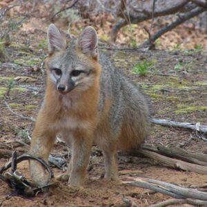 Red Fox Baits