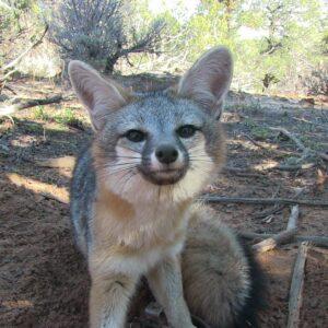 Grey Fox Lures