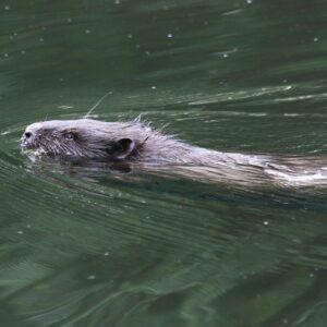 Beaver Lures