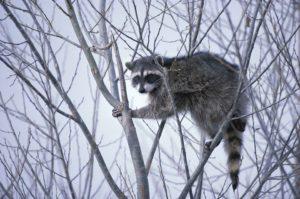 raccoon-western-cats-inc