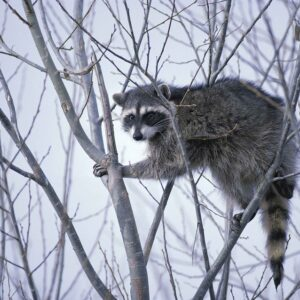 Raccoon Lures